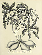 Jatropha - Cassava or tapioca plant (Manihot esculenta) Jatropha Manihot or Eatable rooted Physic nut Copperplate engraving From the Encyclopaedia Londinensis or, Universal dictionary of arts, sciences, and literature; Volume X;  Edited by Wilkes, John. Published in London in 1811