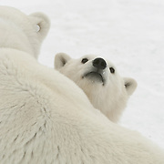 Polar Bear (Ursus maritimus) cub peers over its mother at Cape Churchill, near Churchill, Manitoba, Canada.