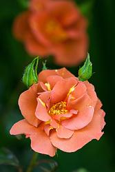 Rosa Edith Holden = 'Chewlegacy'