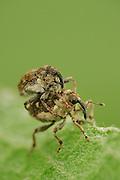 Small Nettle Weevil (Nedyus quadrimaculatus) The Biosphere Reserve 'Niedersächsische Elbtalaue' (Lower Saxonian Elbe Valley), Germany | Ein Paar des Brennesselrüßlers (Nedyus quadrimaculatus). Rüsselkäfer (Curculionidae)