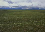 Alaska. ANWR. Mountain Avens ( Dryas species) Hulahula River, Romanzof and Franklin Mountains.