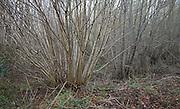 Salix viminalis, Common Osier Willow beds in damp wetland on the River Deben floodplain, Campsea Ashe, Suffolk, England