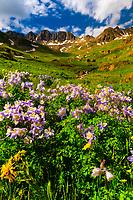 Blue columbine wildflowers, American Basin, San Juan Mountains (range of the Rocky Mountains), Southwest Colorado USA