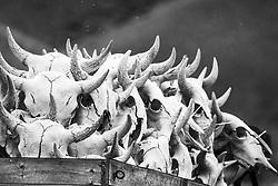 Bison Skulls in wagon, Dubois Wyoming