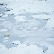 An aerial of a polar bear on the sea ice in Churchill, Manitoba, Canada.