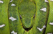 Emerald tree boa (Corallus canina (caninus)) Adult showing thermoreceptors between the labial scales These termoreceptors are well developed in the Corallus family and they are very heat-sensitive snakes.<br /> Amazon Rain Forest<br /> ECUADOR, South America<br /> Non-venemous snake whose name means long 'canines'. They eat small mammals and birds and need big teeth to get through the fur or feathers. They are arboreal snakes, usually found in bushes adjacent to water courses, swamps and marshes in the rain forest. Nocturnal snakes that spend the day draped in symmetrical coils over branches.  Their prehensile tail assurs a firm grip.  They give birth to live young and the young are terra cotta, reddish-orange in colour.  Geographic Range: Amazon Basin of Peru and Ecuador, east through Brazil and Bolivia to the Guianas.