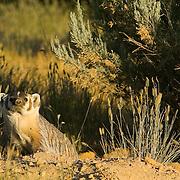 Deer Flat National Wildlife Refuge. Badger, Taxidea taxus, at its burrow at sunset