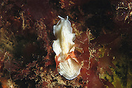 Candy-stiped Flatworm - Prostheceraeus vittatus