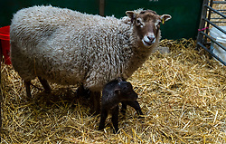 East Lothian, Scotland, United Kingdom. Shetland sheep lambs: Briggs Pure Bred Shetland Lambs maintain flocks in East Lothian and Shetland. Day 2 of lambs being born sees the arrival of a single lamb for one ewe and twins for another; all of them dark. Pictured: this ewe produced two lambs.<br /> Sally Anderson | EdinburghElitemedia.co.uk