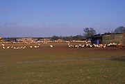 A08AW9 Cockerels being prepared free range for Easter