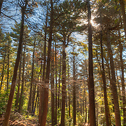 A walking trail through Ravenswood, forested land in Gloucester, MA managed by The Trustees of Reservations.