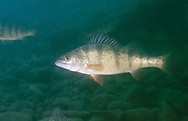 Yellow Perch<br /> <br /> Roger Peterson/ENGBRETSON UNDERWATER PHOTO