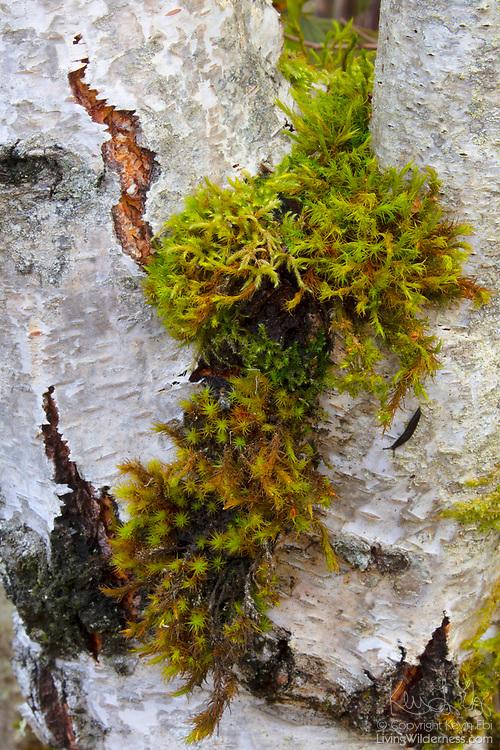 Lyell's Bristle-moss (Orthotrichum lyellii) grows in the fork of a birch tree trunk in Marymoor Park, Redmond, Washington.