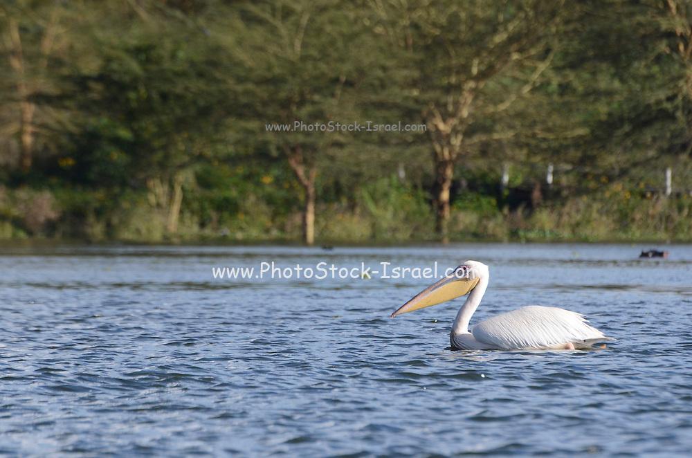 Kenya, lake naivasha, white pelican (pelecanus onocrotalus), floating on the water