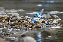 Mountain Bluebird dinning on Callibaetis May files hatching from the Snake River