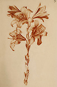 Lilium candidum, (Madonna lily) Red chalk on paper by Nicolas Robert from Sketchbook A at the Jardin Du Roi, Paris c 1650