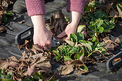 Removing dead foliage from strawberry plants in early spring