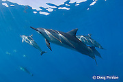 Hawaiian spinner dolphins or Gray's spinner dolphin or long-snouted spinner dolphins, Stenella longirostris longirostris, Kaupulehu, Kona Coast, Big Island, Hawaii ( Central Pacific Ocean )