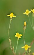 Yellow Centaury - Cicendia filiformis
