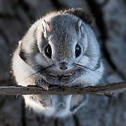 This is a portrait of a Pteromys volans orii flying squirrel male illuminated by the light of an early winter morning. He had just emerged from his nest, followed shortly thereafter by a female. The pair mated 10 days after this photo was taken.