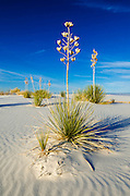 Soaptree Yucca (Yucca elata) and dunes, White Sands National Park, New Mexico USA
