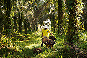 A smallholder farmer harvests palm oil on his plantation in Ukui, Riau Province, Indonesia, on 15 June 2015. This area has become dominated by palm oil production, and some smallholder farmers have formed co-operatives to share costs, increase access to markets, and become certified by the Roundtable on Sustainable Palm Oil. He is part of Amanah, a local cooperative that has helped over 400 farmers become RSPO certified - reducing their use of pesticides and fertilizers, increasing yields, and improving farm management.