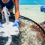 A male southern stingray (Hypanus americanus) shoots water out of his mouth while being turned upside down by researchers getting a small tissue sample for genetic analysis in The Bahamas.