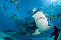 Lemon Sharks, Diver, and Dive Boat