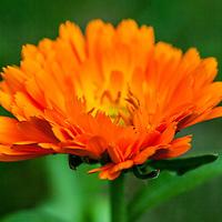 The firery orange Calendula flower (Calendula officinalis)