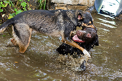 A playful Black and Tan juvenile mongrel dog play fights in small stream with a Chocolate Brown Labrador in a local Park