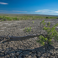 Greasewood grows amid dried mud on the high prairie of Phillips County, Montana.