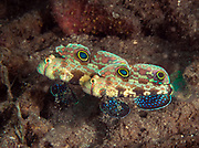 Signal Goby, House Reef, Tufi,  Papua New Guinea