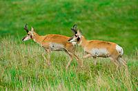 Pronghorn antelope, Custer State Park, Black Hills, South Dakota USA