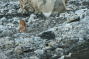Puma (Felis concolor patagonica) female<br /> Lago Sarmiento<br /> Torres del Paine National Park<br /> Patagonia<br /> Magellanic region of Southern Chile