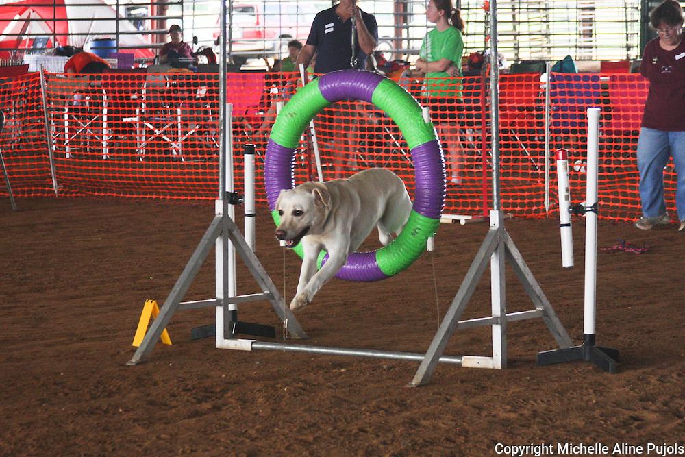Dog jumping through a ring at Dog Agility Trials