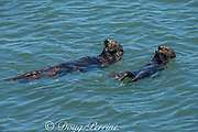California sea otter or southern sea otter, Enhydra lutris nereis ( threatened species ) female and pup share a meal of mussels that the mother has collected, Elkhorn Slough, Moss Landing, California, United States ( Eastern Pacific )