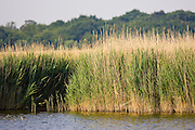 Reed-bed at Hickling, Norfolk Broads, United Kingdom