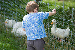 Little boy feeding at the ducks on a visit to a city farm,