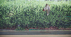 © Licensed to London News Pictures. 26/11/2012..Location, Country. ..A zebra painted on a hoarding in Loftus in North Yorkshire looks on after another day of heavy rain causes disruption in parts of East Cleveland and North Yorkshire...Photo credit : Ian Forsyth/LNP