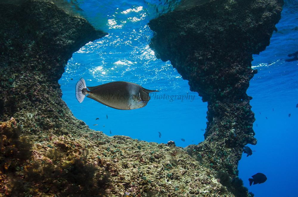 Spotted Unicornfish (Naso brevirostris)<br /> Wajil Batan<br /> Raja Ampat<br /> West Papua<br /> Indonesia