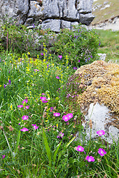 Bloody Cranesbill growing amongst rocks in the Burren. Geranium sanguineum