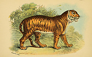 Tiger (Panthera tigris Here as Felis tigris) From the book ' A handbook to the carnivora : part 1 : cats, civets, and mongooses ' by Richard Lydekker, 1849-1915 Published in 1896 in London by E. Lloyd