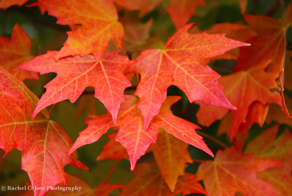 """""""Maple Abundance""""<br /> <br /> Lovely maple leaves in full autumn glory!"""