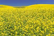 Spring Bloom of Canola in Palouse Washington