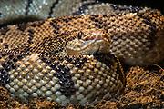 Chocoan Bushmaster (Lachesis acrochordata)<br /> Choco<br /> Esmeraldas<br /> North West ECUADOR. South America<br /> Captive