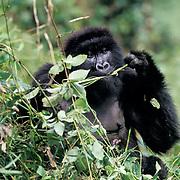 Mountain Gorilla, (Gorilla gorilla beringei) Juvenile foraging. Volcanoes National Park. Rwanda. Africa.