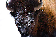 Bison in Yellowstone National Park. Montana