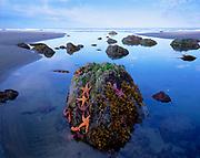 Sea Stars and Rocks at Sunrise, Olympic National Park, Washington