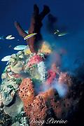 "brown sponge , Agelas sp., <br /> "" smoking "" ( releasing sperm ), <br /> Little Bahama Bank, <br /> Bahamas ( Western Atlantic Ocean )"
