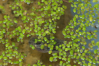 Tadpole of California red-legged frog, Rana aurora draytonii, in duckweed, Lemna sp. Contra Costa County, California. Complete life cycle available, including eggs, tadpoles, metamorphs, froglets, and adults. Red-legged frogs were once abundant throughout California, and were the inspiration for Mark Twain's classic The Celebrated Jumping Frog of Calaveras County. Now, after more than a century of habitat destruction, water pollution, suburban sprawl, and predation by non-native bullfrogs, they've been reduced to a number of scattered, unconnected populations. Federally listed as a Threatened Species.